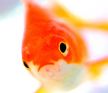 金魚|大岩朱実